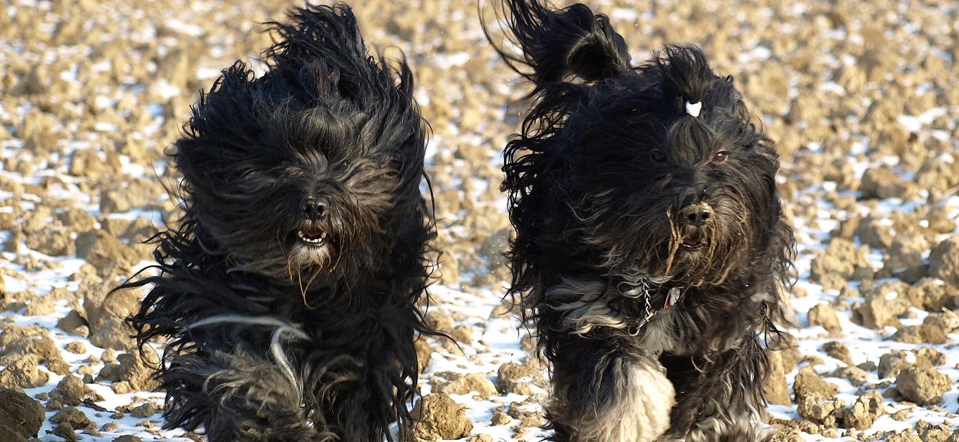SENGGE  Tibetan Terriers